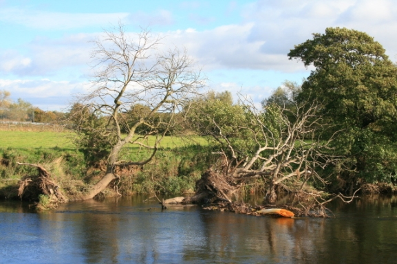 two_uprooted_trees-_-_geograph-org-uk_-_1013005